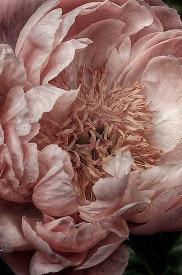 1 heirloom rose