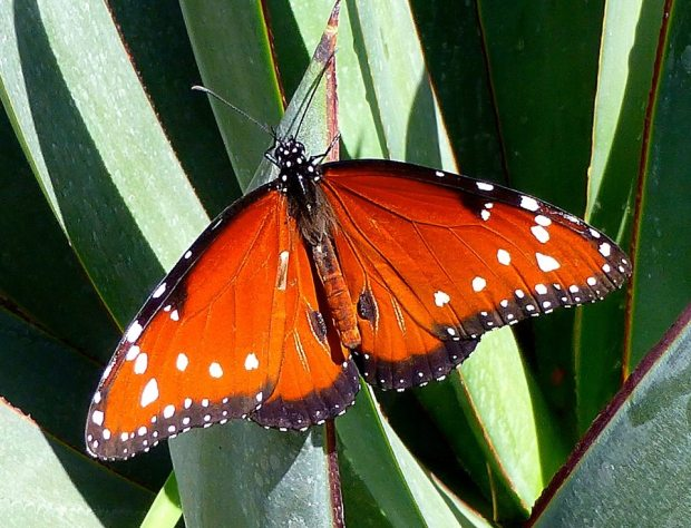 butterfly_succulent_Tom Seliskar