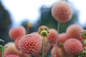 pink poms