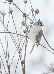 bird_snow_dried flowers