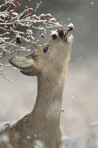 deer berries
