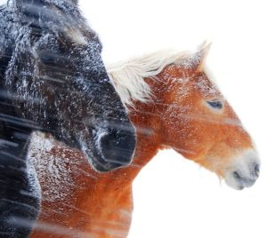 horses_wind