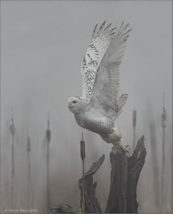 owl flight