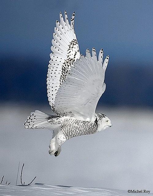 owl_Michel Roy
