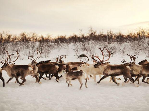 running herd
