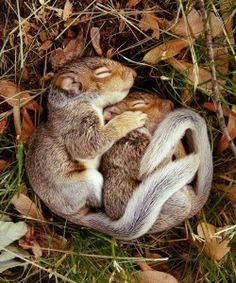 sleeping chipmunk 2