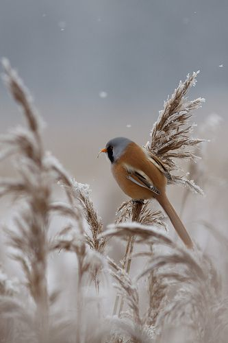 snow bird grasses