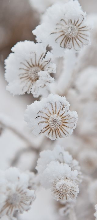 snow_botanical