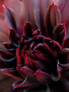 burgandy petals