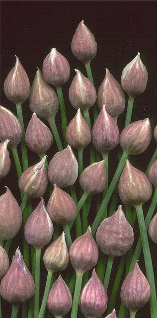 Chive buds 950 by horticultural art