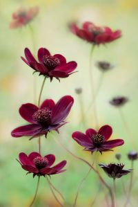 chocolate cosmos