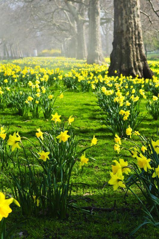 daffodils_lawn