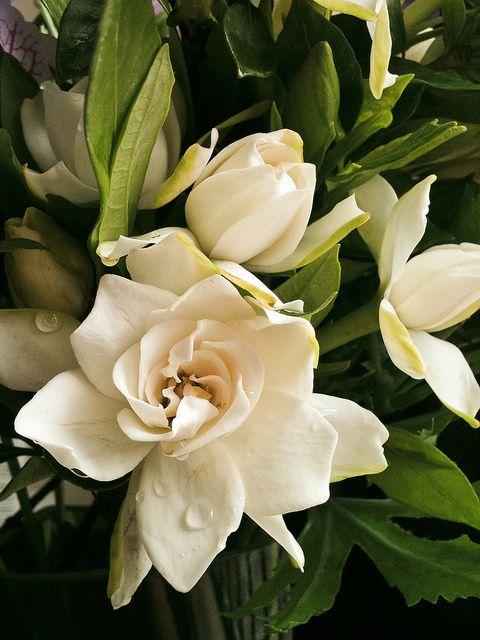 Gardenia jasminoides by .Matt