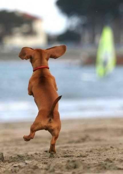 joy dog