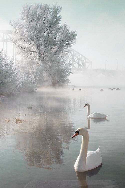 Swan Lake by Edwin van Nuil