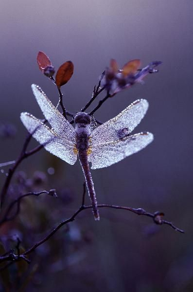 Dewy Dragonfly by Earl Duckett