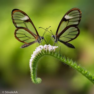 Glasswinged butterflies by Stivale AA