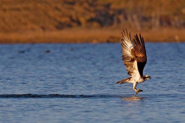 Osprey_Ron Pile