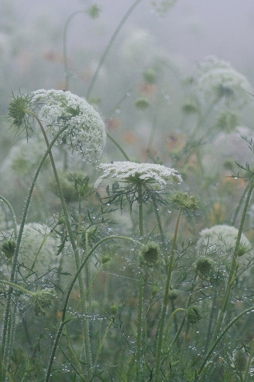 rainy queen annes lace