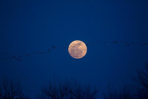 Sandhill Cranes in the Moonlight_Ron Pile