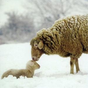 sheep_lamb
