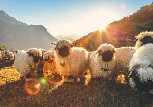 sheep_sun