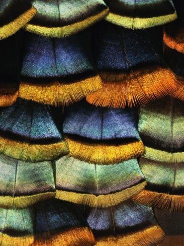 Turkey feather_detail
