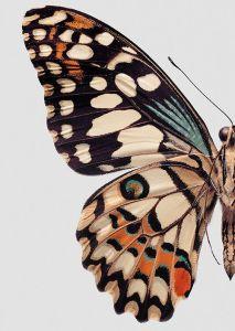 blue orange butterfly