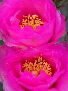 bright pink cactus flowers_tom seliskar