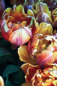 copper parrot tulips