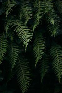 dark fern