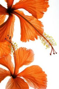 large orange flowers