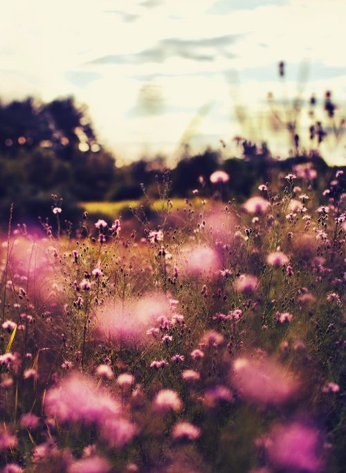meadow of pink flowers