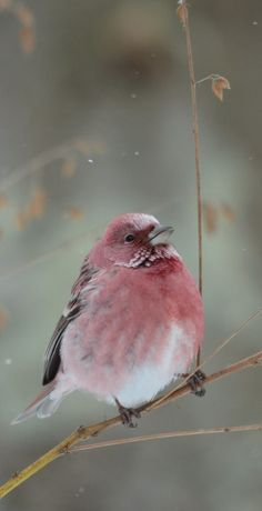 pallas-rosefinch