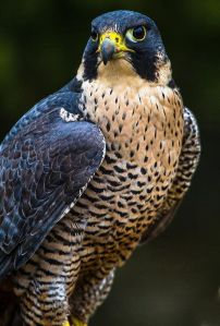Peregrine Falcon by Craig Brown