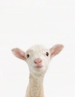 perky lamb