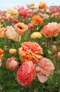 pink and orange field of flowers