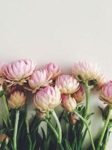 pink protea