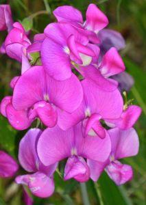 purple flowers_tom seliskar