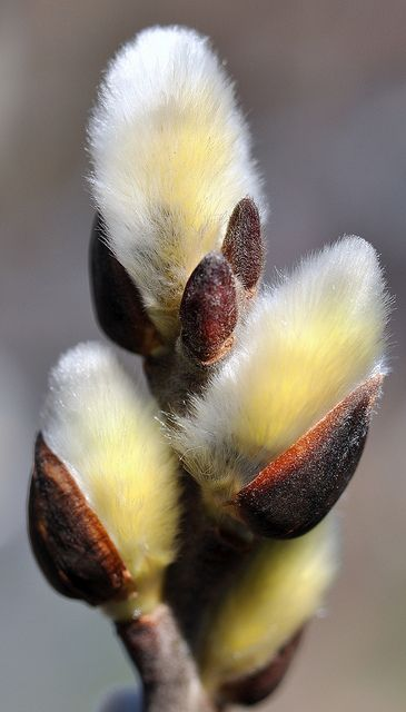 Pussy Willow Catkin by SpitMcGee
