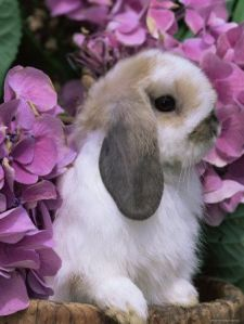 rabbit and lavendar hydrangea