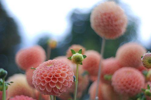 sweet pink blooms