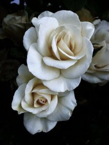 white roses_dark background