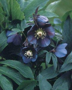 wishflowers_Hellebores