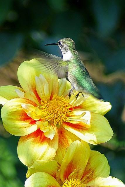 yellow_hummingbird