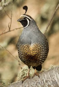 California Quail by alicecahill