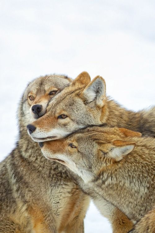 coyotes together