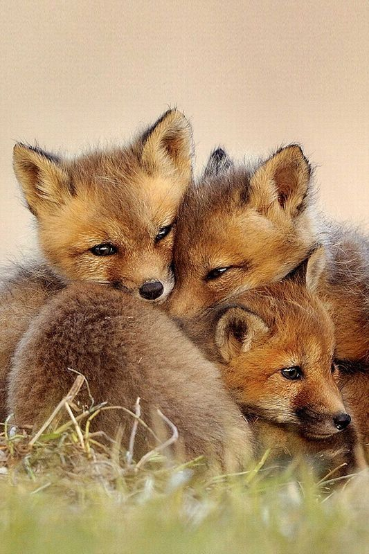 fox kits together