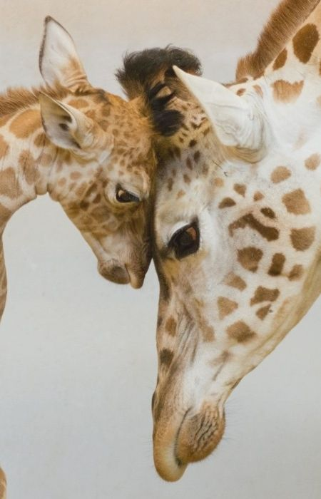 giraffes together