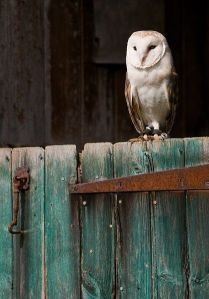 owl-on-gate
